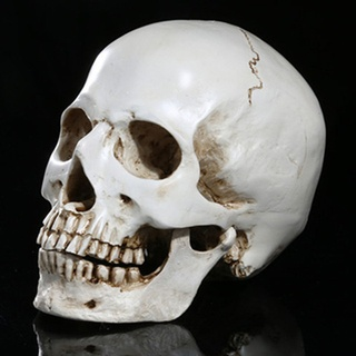 The shape of the base of the skull influences the development of malocclusion